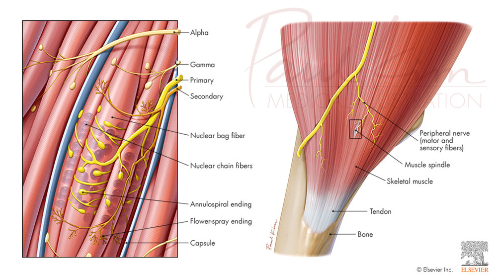 Innervation of the Muscle Spindle