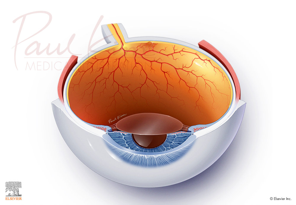 Cross Section of the Eye - Superior View