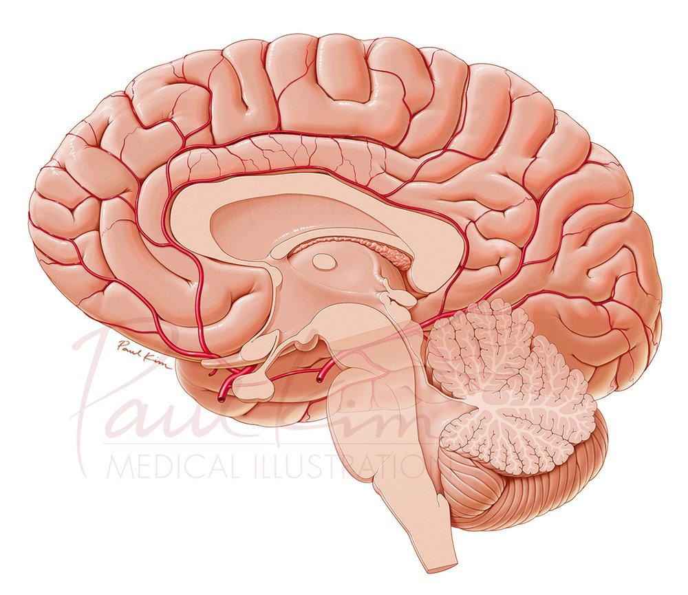 Arteries of the Brain - Midsagittal View