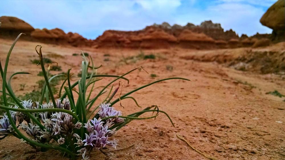 Wild Desert Onion