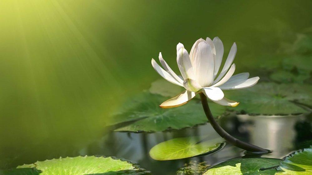 lotus white.jpg