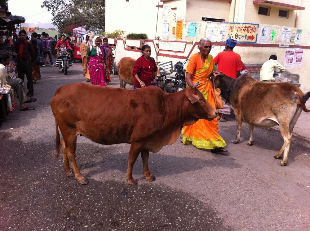 Rishikesh cows