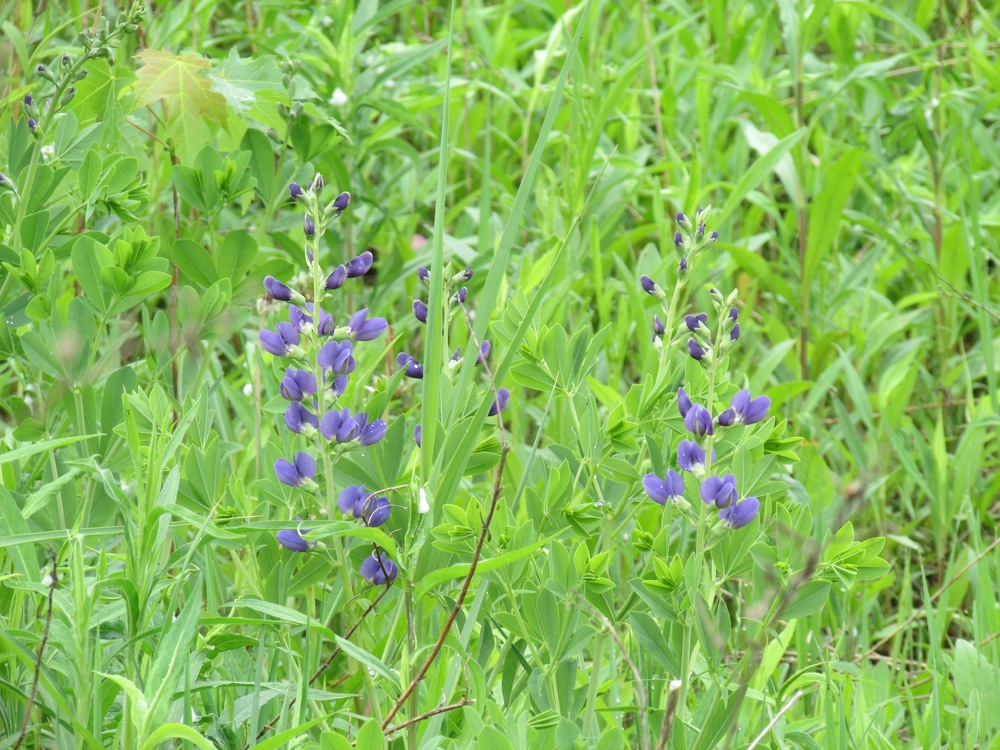 False Indigo