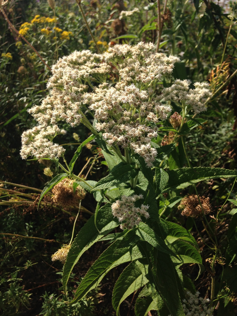 Boneset Thoroughwort