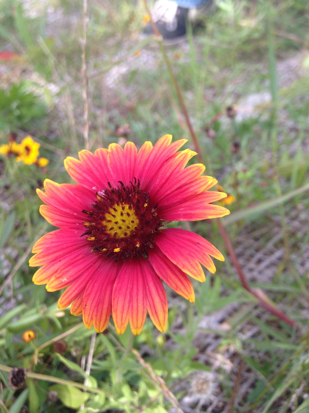 Rosering Blanket Flower