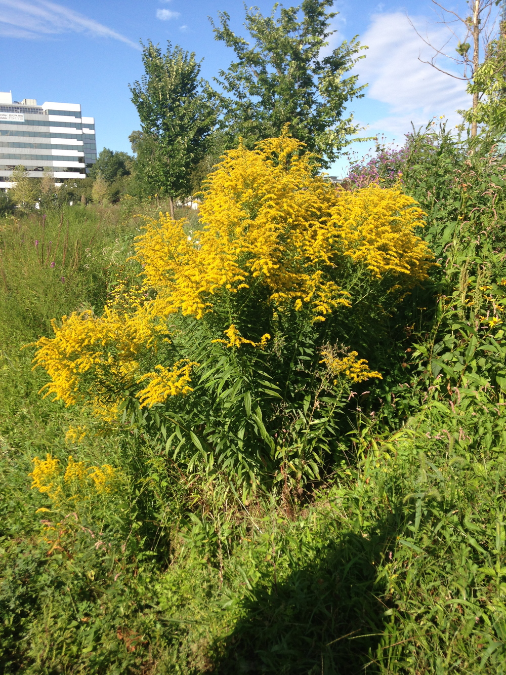 Tall Goldenrod