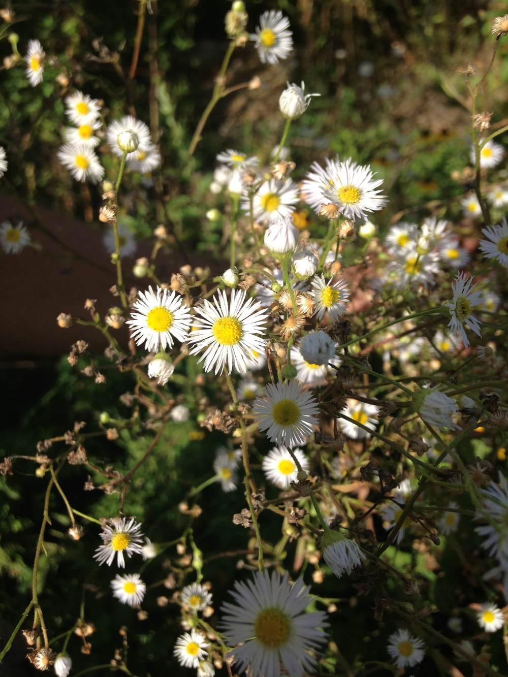 New York American-aster