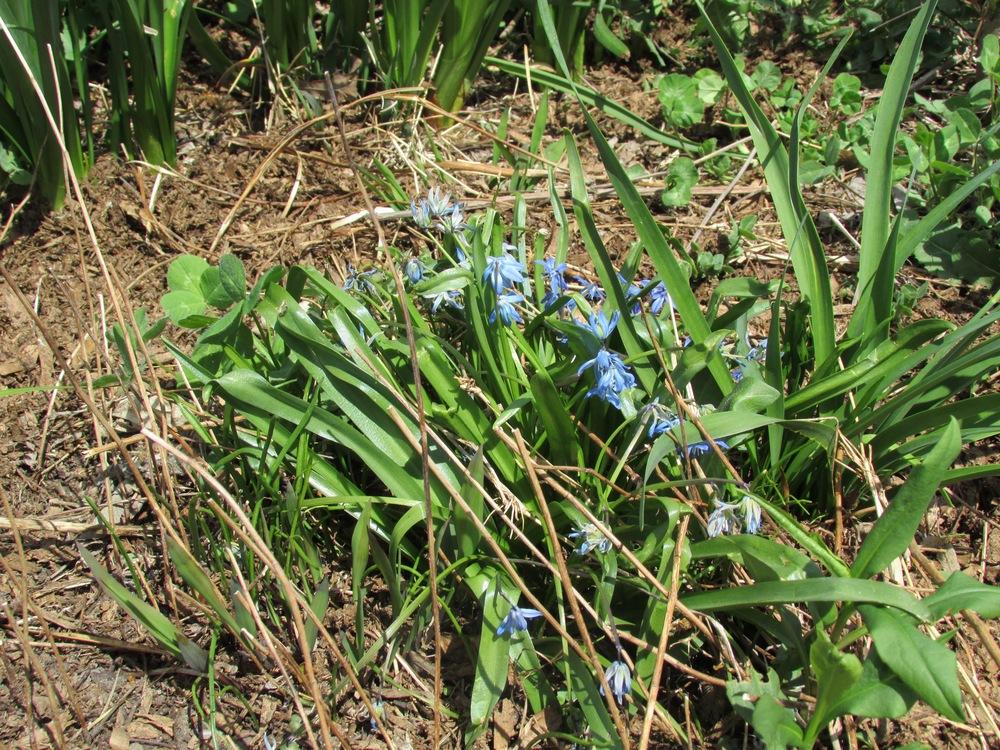 Common Viola