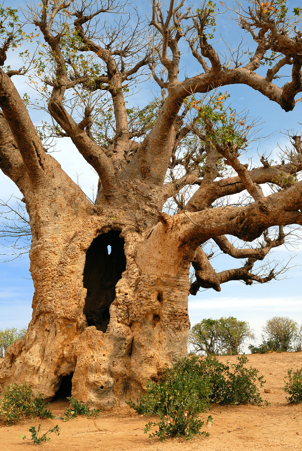 Various species of the Baobab tree exists around the world but the most prominent varieties can be found in Africa and Madagascar. & Baobab- the