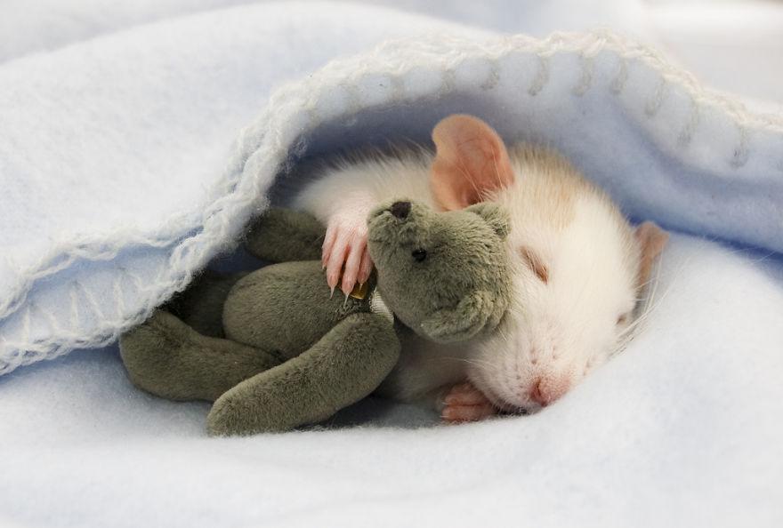 cute-pet-rats-37__880.jpg