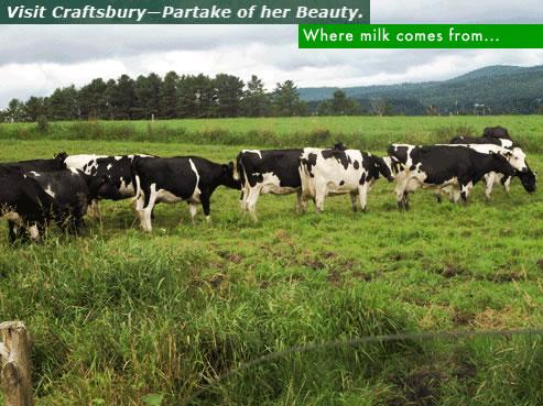 cows in Craftsbury