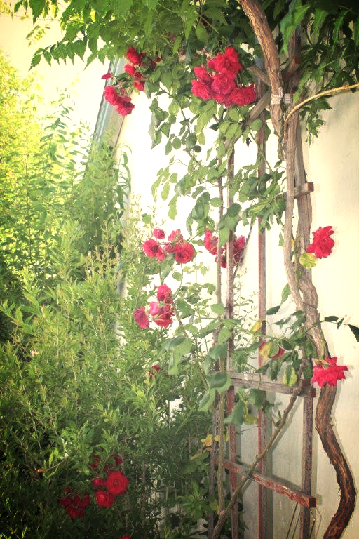One of my father's many rose bushes