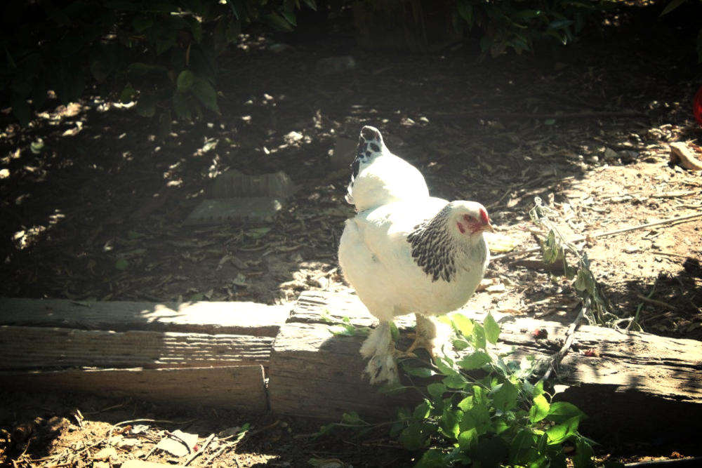 My father has 6 chickens: Whitney, Gloria, Jessica, Adele and Gaga (who turned out to be a rooster)