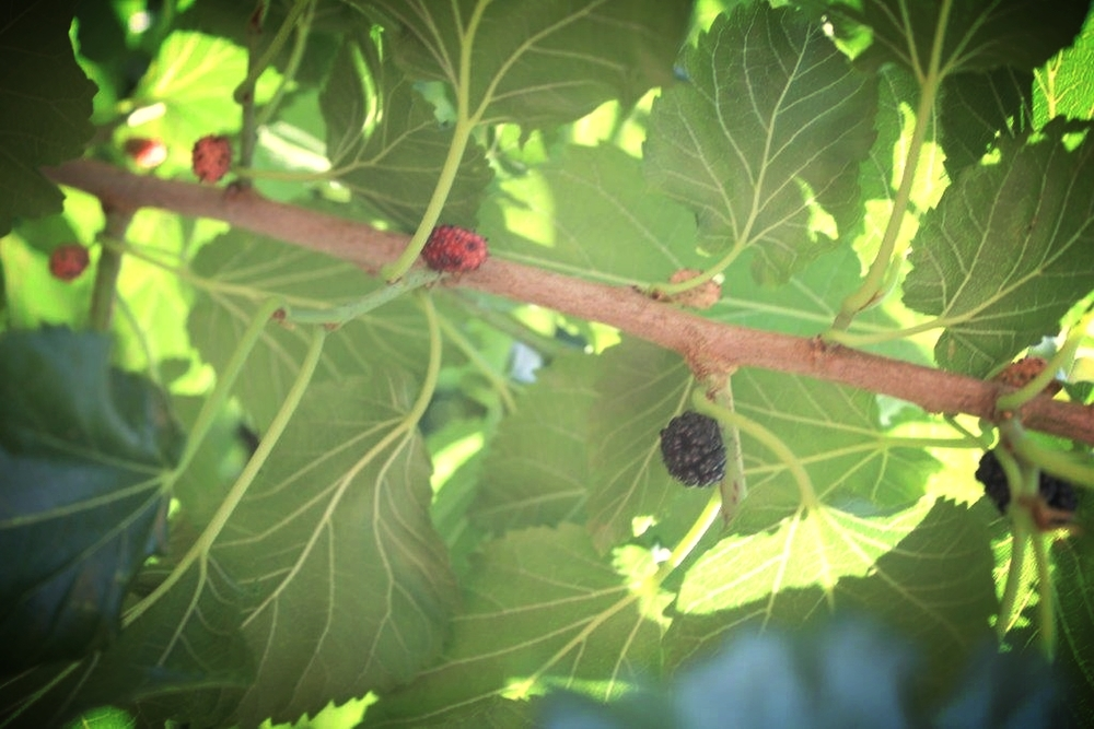 A raspberry plant grafted to offer 3 different types of berries on its branches