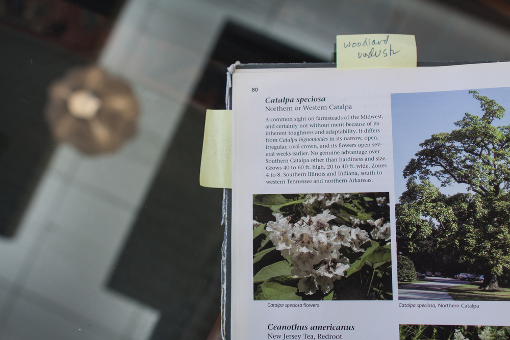 A Catalpa Tree explained; photo: Marina Bayramova
