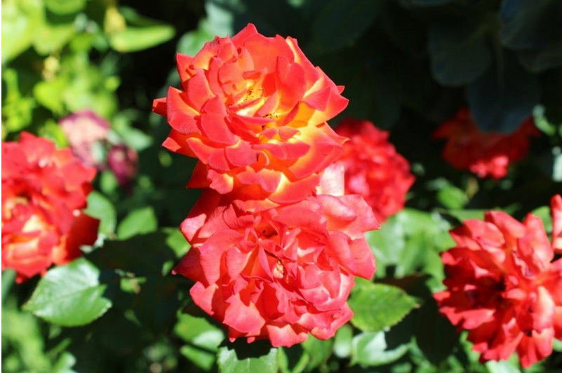 My Fire and Ice Tea Rose: Imane