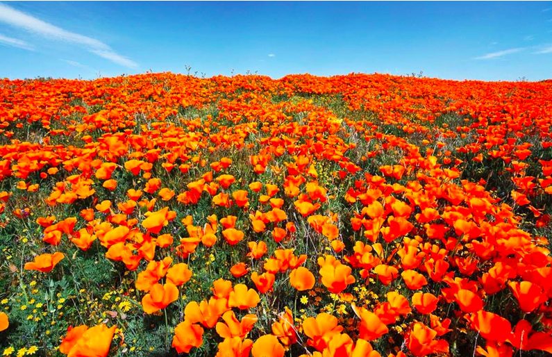 Photos from the California Poppy Reserve