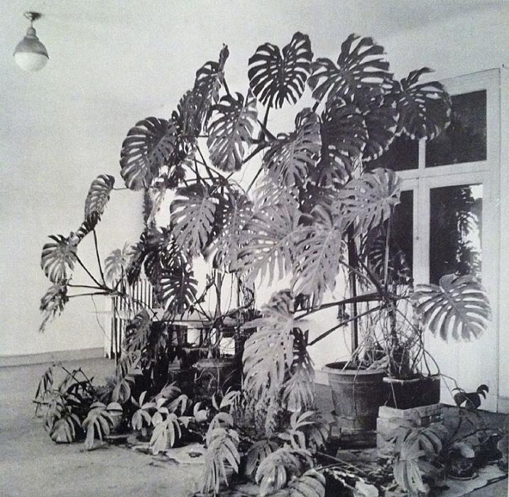 Monstera deliciosa in Henri Matisse's Studio, Source Unknown. Found: Pinterest.