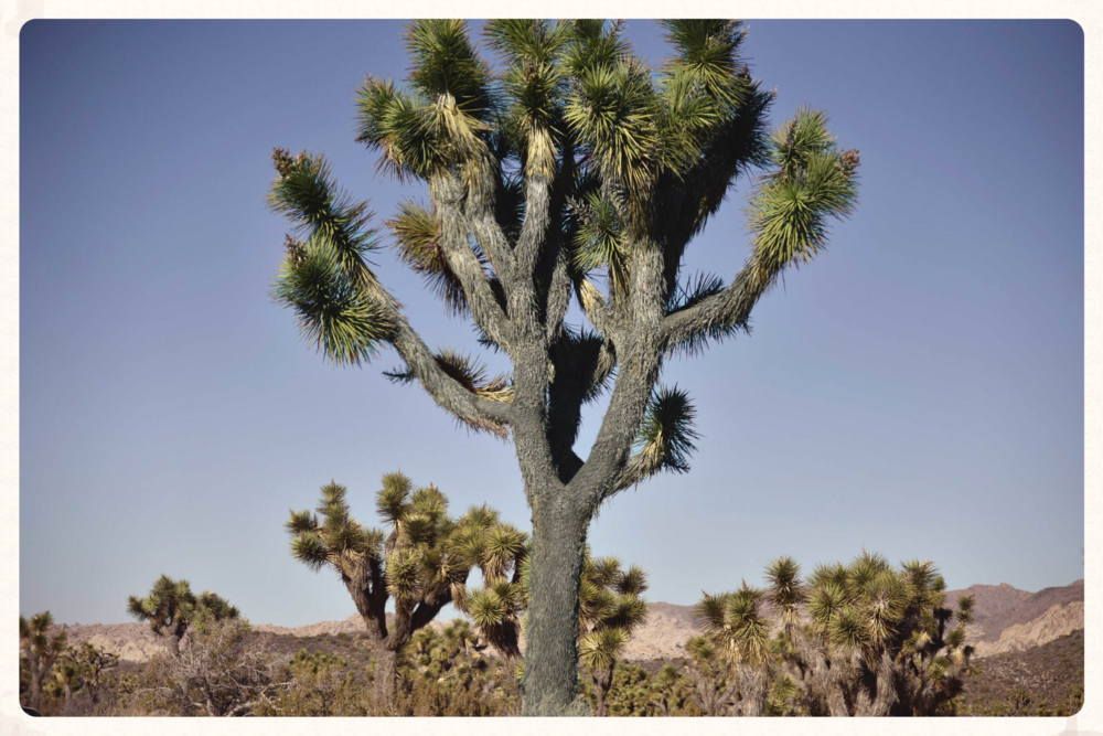 The Joshua Tree, Joshua Tree National Park, CA, USA. Image©sourcingstyle.com