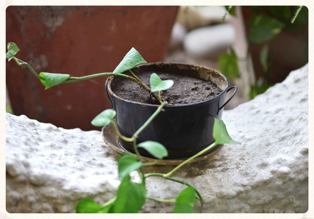 The potted plant that had almost died makes a miraculous recovery! Image©gunjanvirk