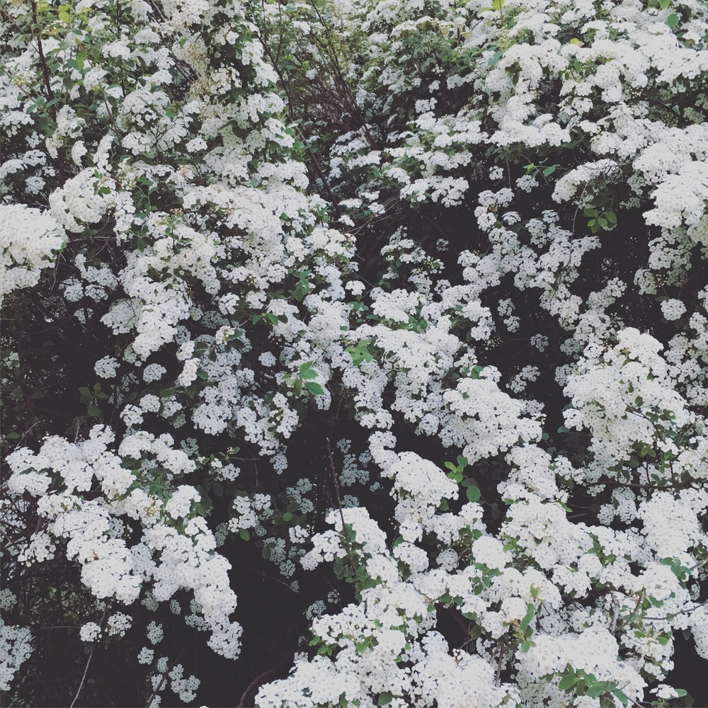 Spring, spring blossoms, white flowers. Image copyright sourcingstyle.com