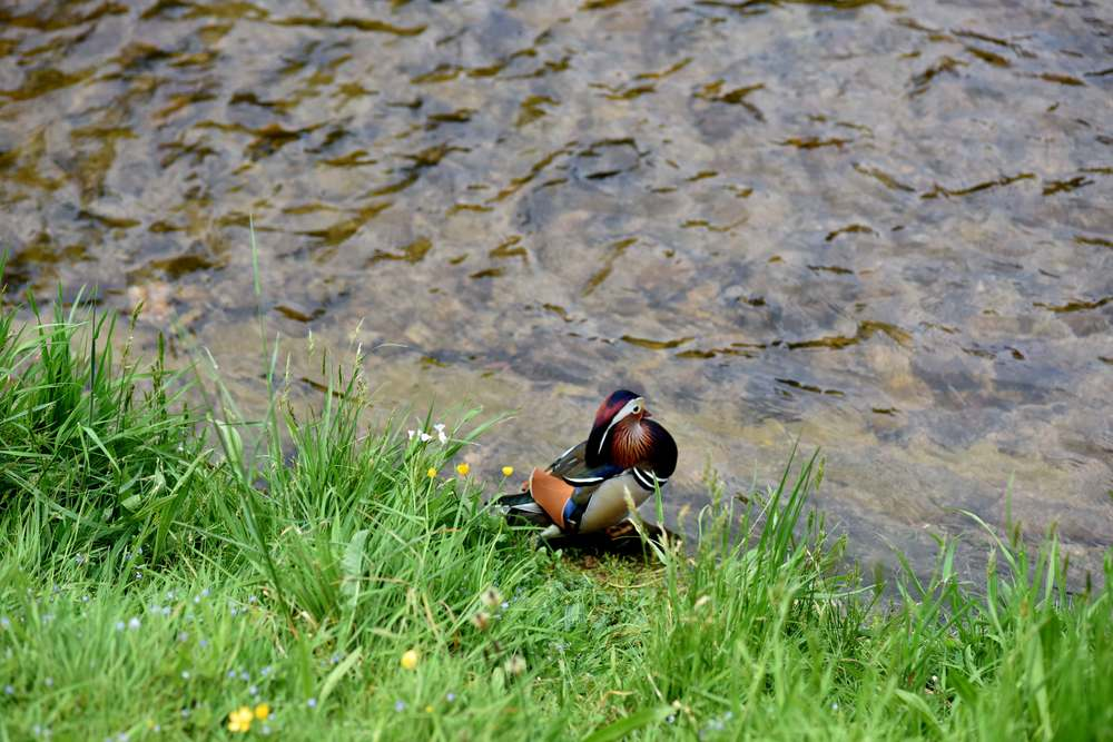 Oos river, a colorful duck, Baden Baden, Germany. Image©sourcingstyle.com