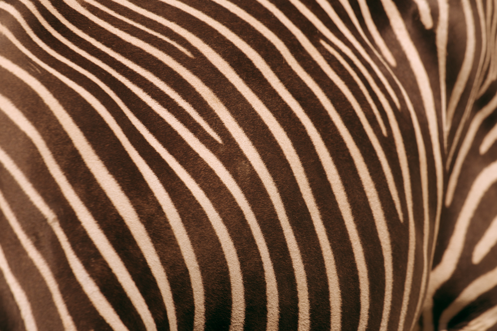 "Zebra using ""Porch Swing"""
