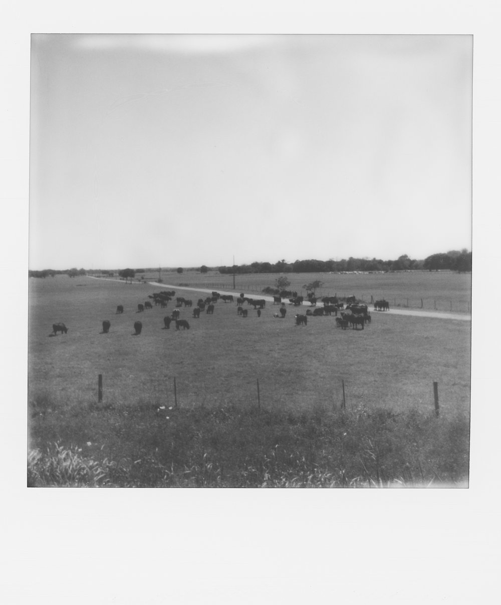 polaroid week cows (1 of 1).jpg