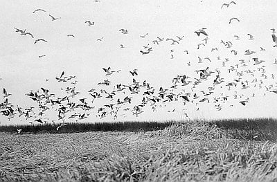 Finley's 1908 photograph of birds at Malheur