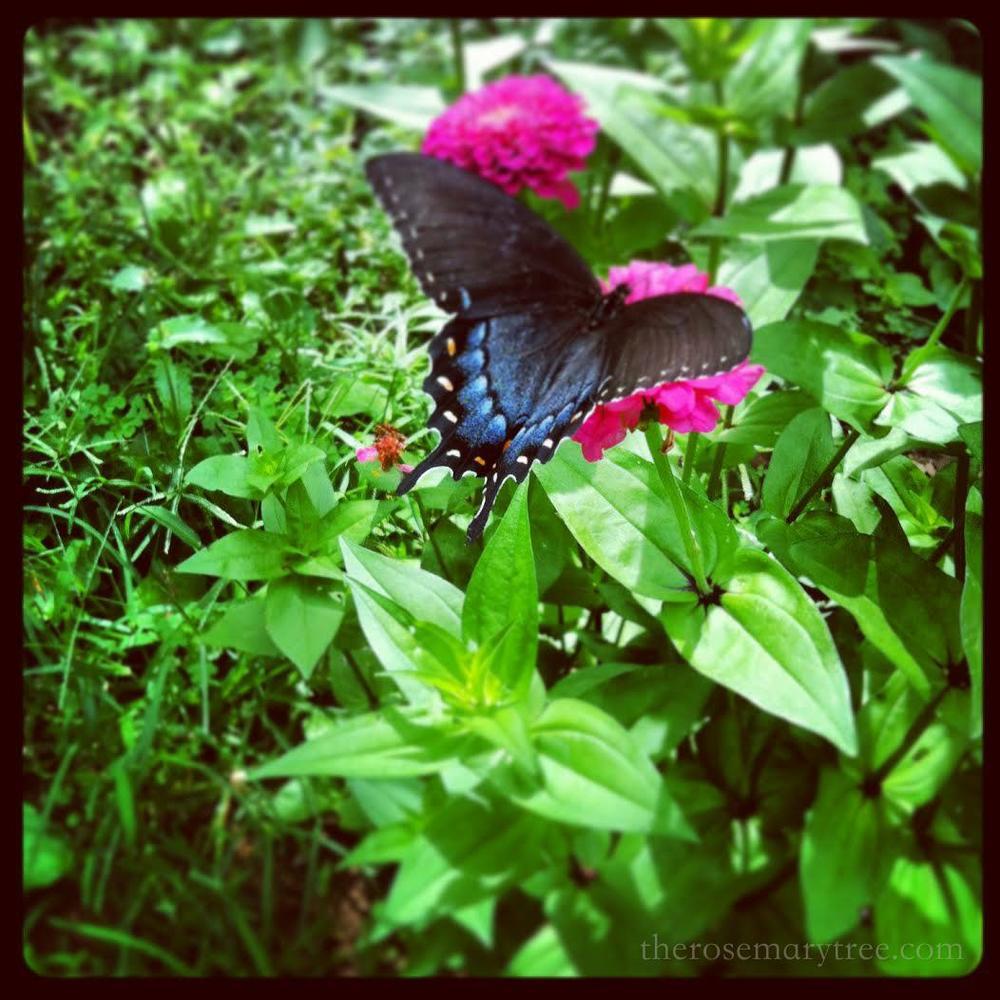 butterflyonzinnia