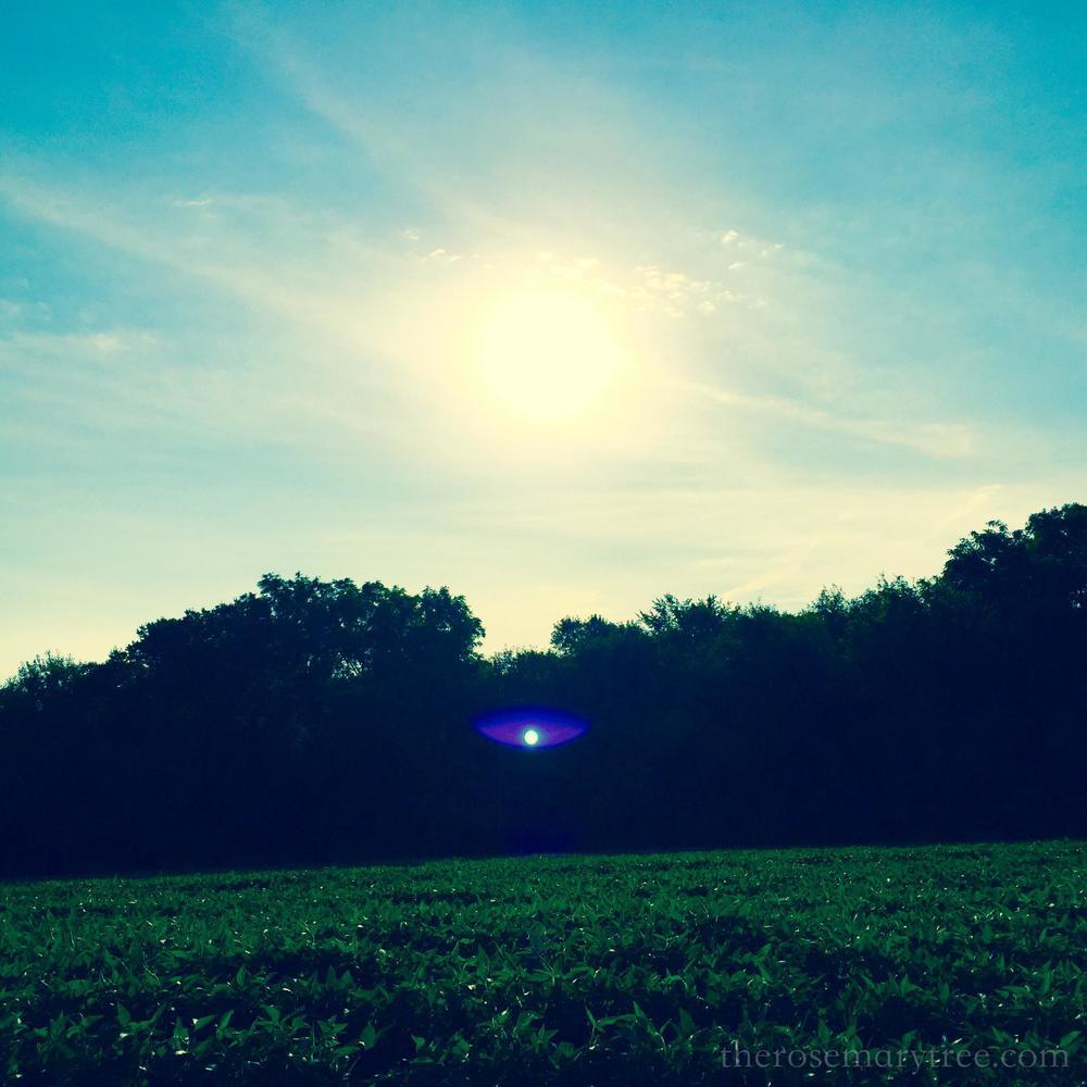soybeanfield
