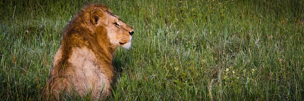 Safari leones