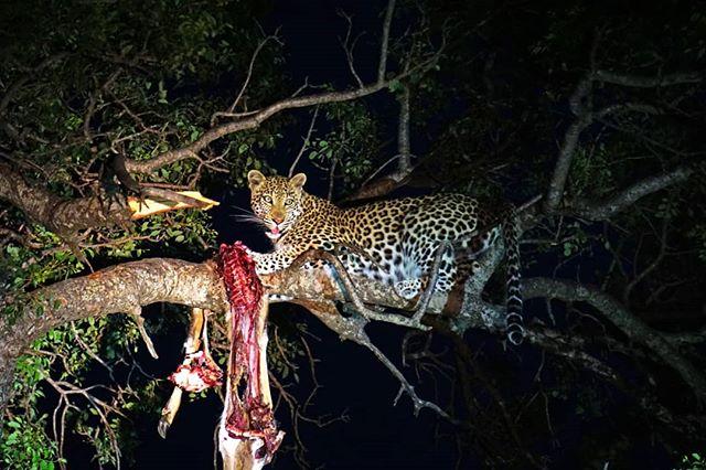 África se transforma durante la noche: comienzan los mágicos sonidos de los insectos y anfibios, miles de estrellas iluminan el paisaje y algunos animales se duermen mientras otros recién comienzan su jornada. Mientras que muchos grandes felinos descansan durante el día, de noche casi siempre están activos, pudiendo verse leones, leopardos y gatos monteses. Además, existe una gran variedad de animales cuyo avistamiento es muy raro de día, tales como el puercoespín, jabalí y el búho. Incluso los hipopótamos, que están tranquilos en el agua durante el día, salen caminando a alimentarse y marcar su territorio. ¡Incluye los Night Safari en tu itinerario! 🐆🌙 . . . #safari #nightsafari #wayo #africa #manyara #tanzania #sudafrica #southafrica #leopardo #lion #night #animal #wildlife #adventure #travel