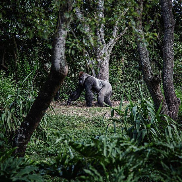 Ven y conoce los grandes simios de África: chimpancés y gorilas.Ver a estas inteligentes criaturas en su hábitat natural será una experiencia inolvidable y un privilegio de pocos.  Después de hacer trekking por remotas y exuberantes selvas, podrán disfrutar de un encuentro íntimo y casi familiar con estos magníficos animales. 🦍🌍🖤 . . #rutaafrica #africa #uganda #rwanda #animals #safari #trekking #gorilla #silverbackgorilla #monkey #chimp #ape #travel #discover #photography #wildlife