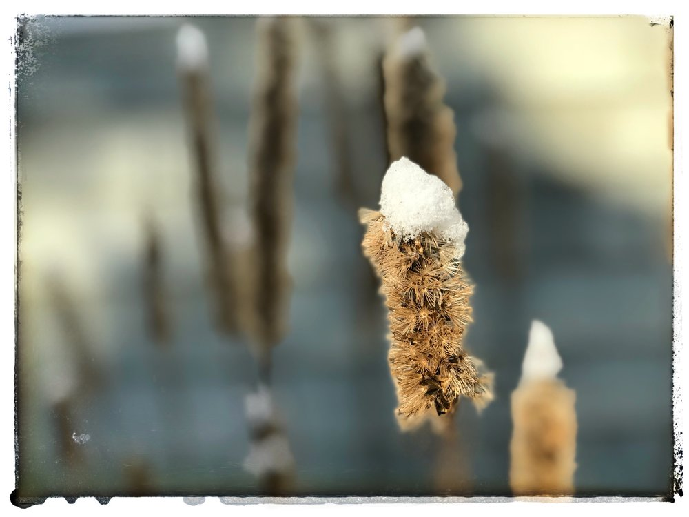 Liatris stalk in snow