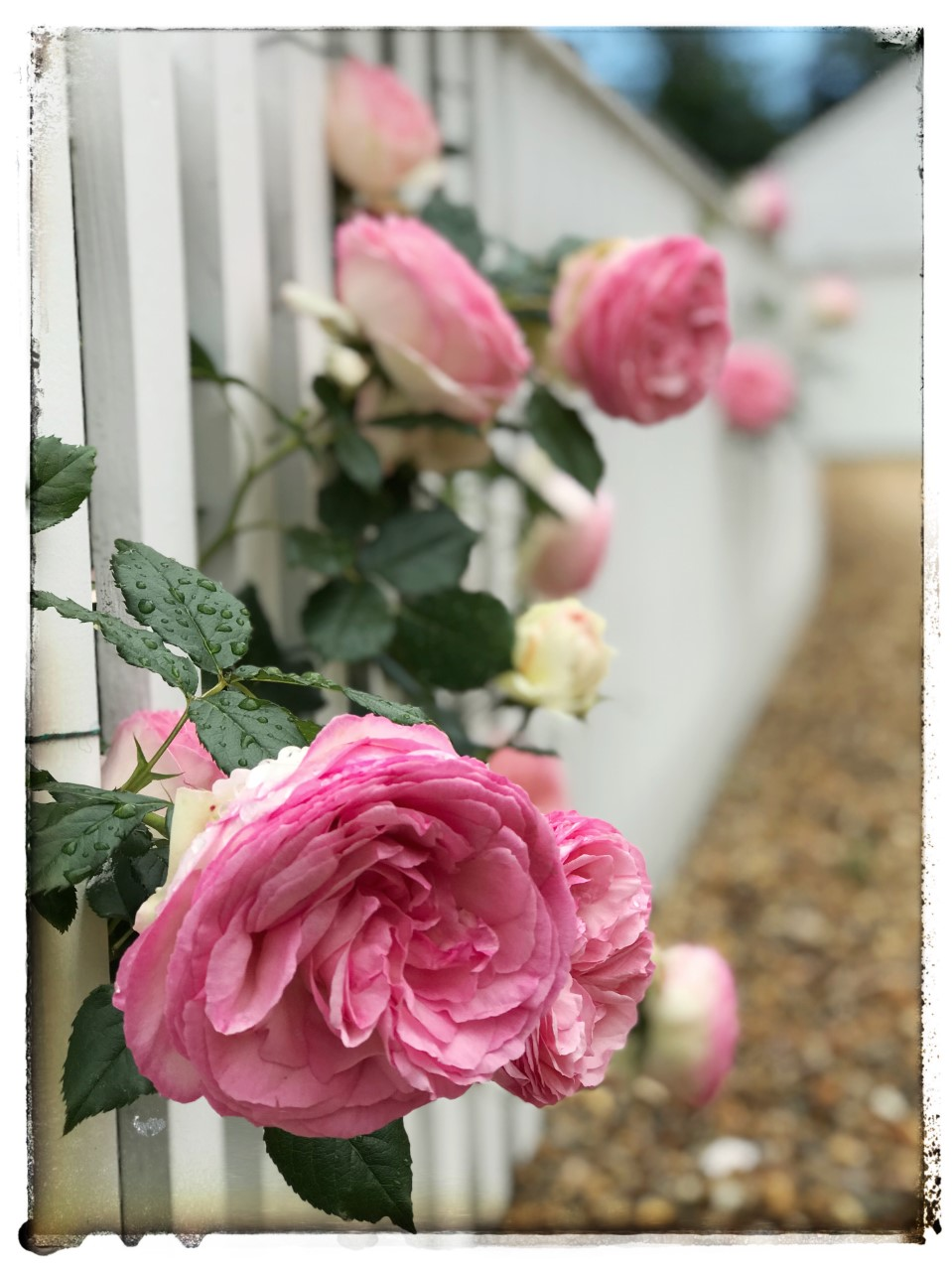 North Water roses