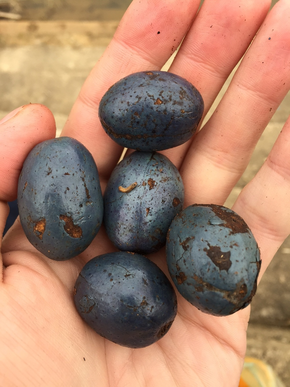Unknown - bought these at a local market. You have to boil them first. They taste like an olive with a woody finish.