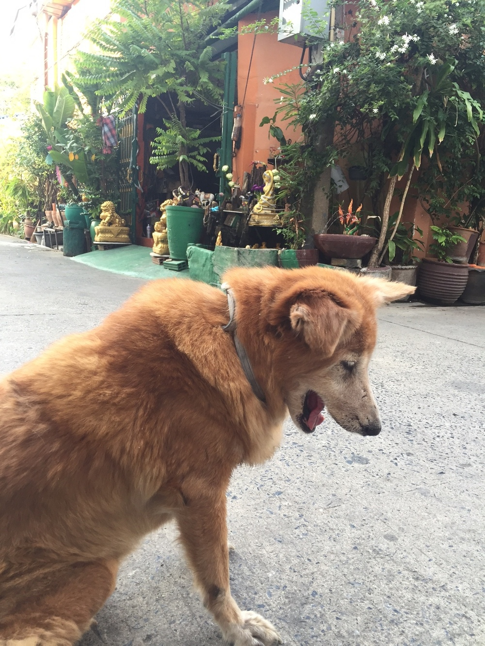 Sway (Beautiful in Thai): Sway was accidentally hit by the owner of the hostel but cared for, loved, and mended back to health. She's now the house dog.Nobody knows how old she is.