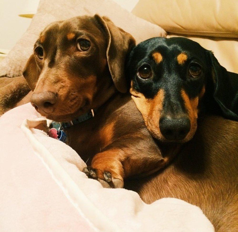 widget-lulu-dachshunds.jpeg