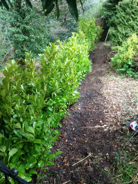 Tree and Garden care planted hedge Laurel hedging