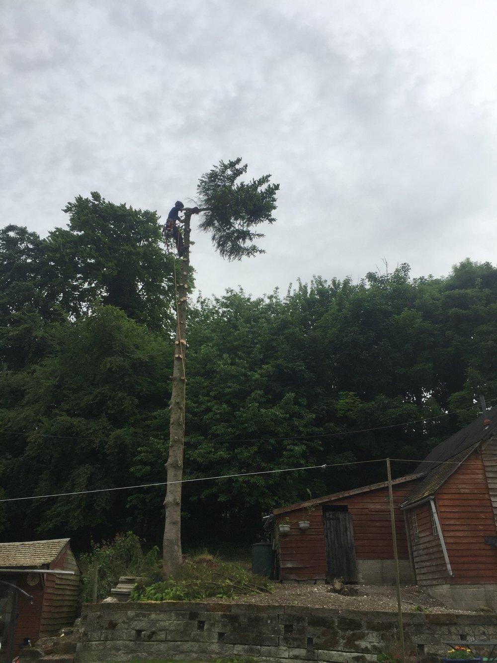 conifer removal, Addlestone Surrey
