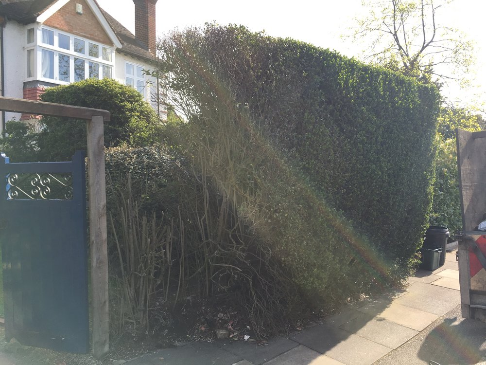 Yew hedge1.JPG