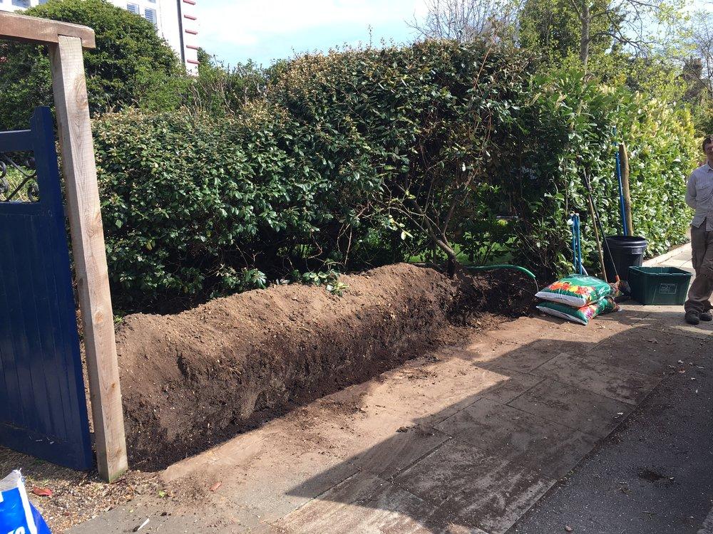 Yew hedge4.JPG