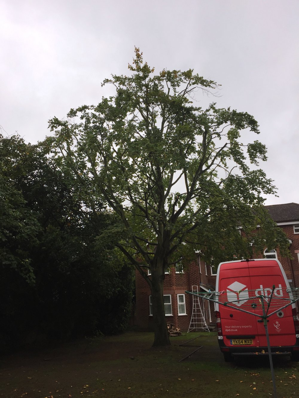 Beech tree reduction after