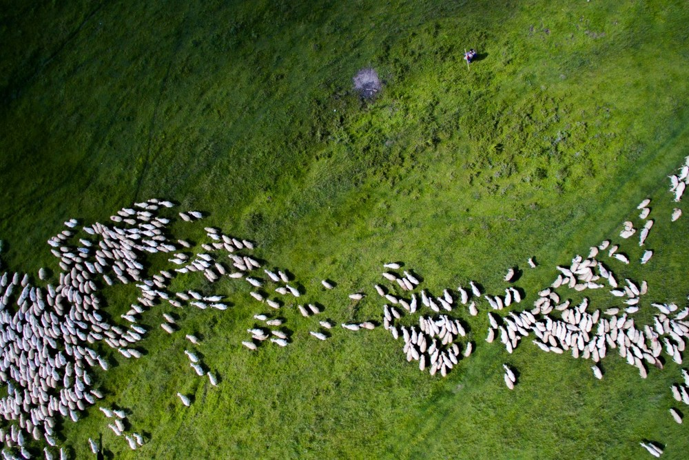 2nd Prize Winner – Category Nature Wildlife: Swarm of sheep by Szabolcs Ignacz – See Author's profile