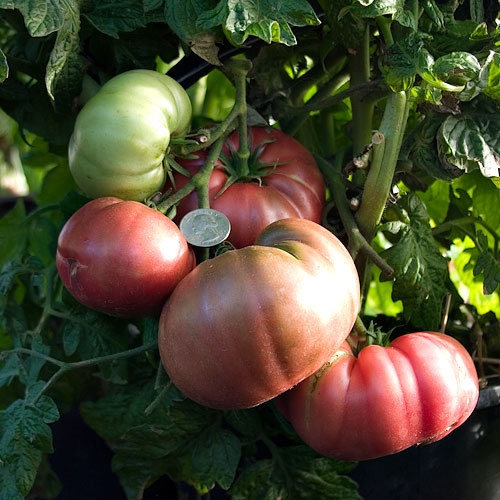 Rosella Purple Tomato - Container Variety