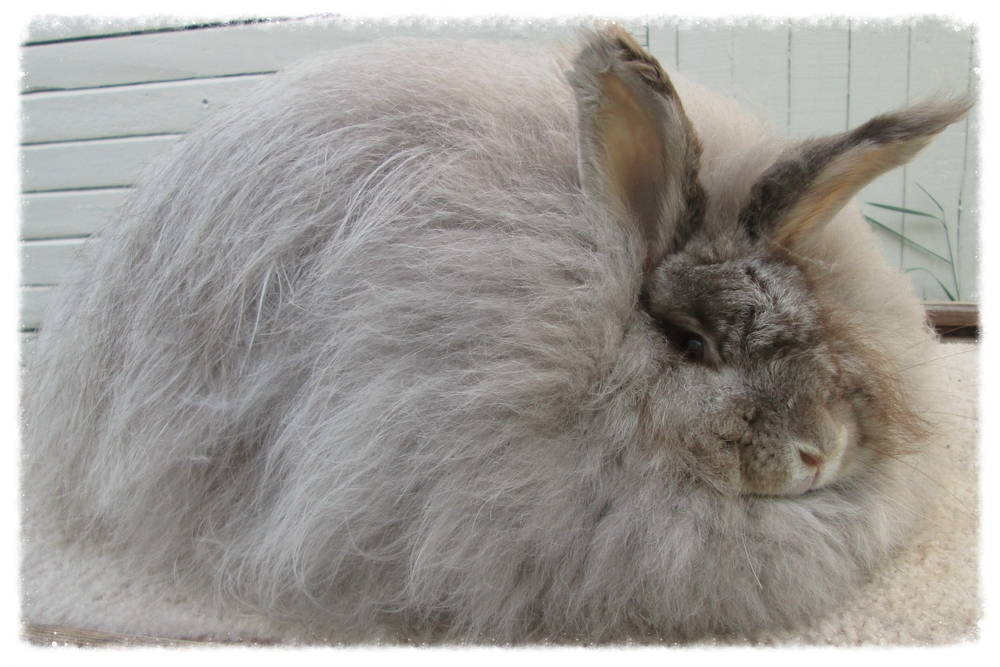 AR's Monique::   Chocolate Chinchilla Doe  Born: 05/2013  Registered   Dam: AR's Snow     Sire: Aboundingful Buddy