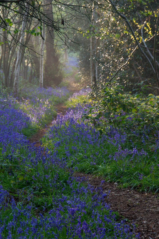 20140421-Bluebells_Weeley_Essex_3-2.jpg