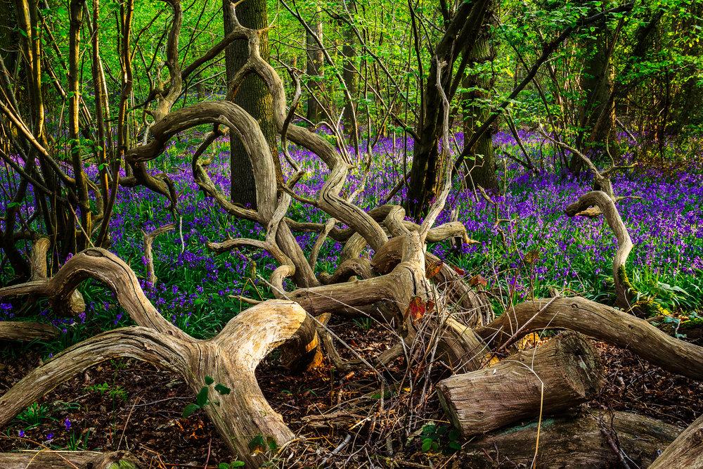 20140421-Bluebells_Weeley_Essex_8.jpg