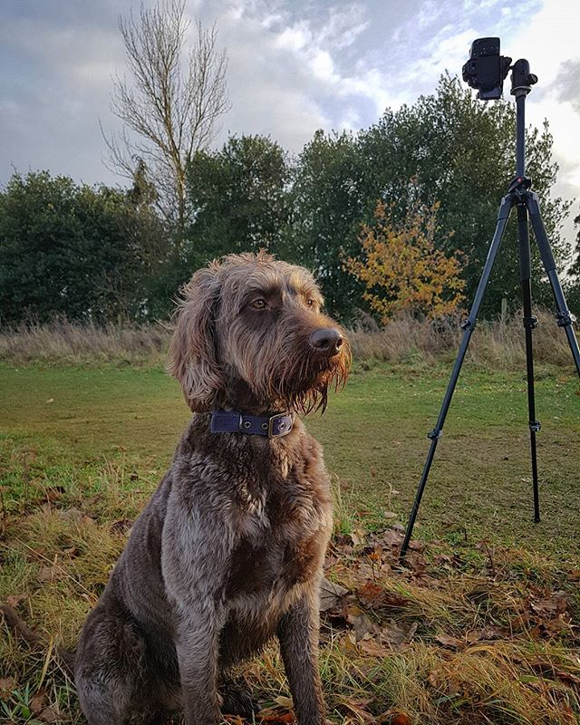 Had a very quick wander with just the tripod and camera attached, nifty 50 and nothing else. Digger enjoyed the remaining light for the day bless him. #phonephotography #samsunggalaxys7 #labradoodle #togdog #dogwalk #colchester #landscapephotography #visitessex #labradoodlesofig #labradoodlelove